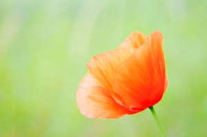 Red Poppy by Jay Simmons