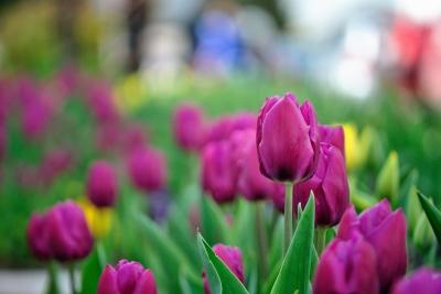 Tulips by Mihai (Mike) Tamasila